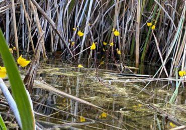 La scoperta di un botanico: una pianta carnivora vive nello stagno di Platamona
